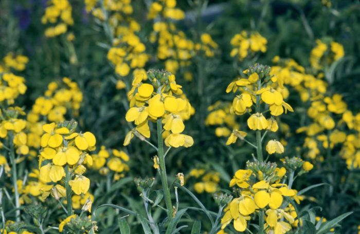 wallflower 'Bredon'