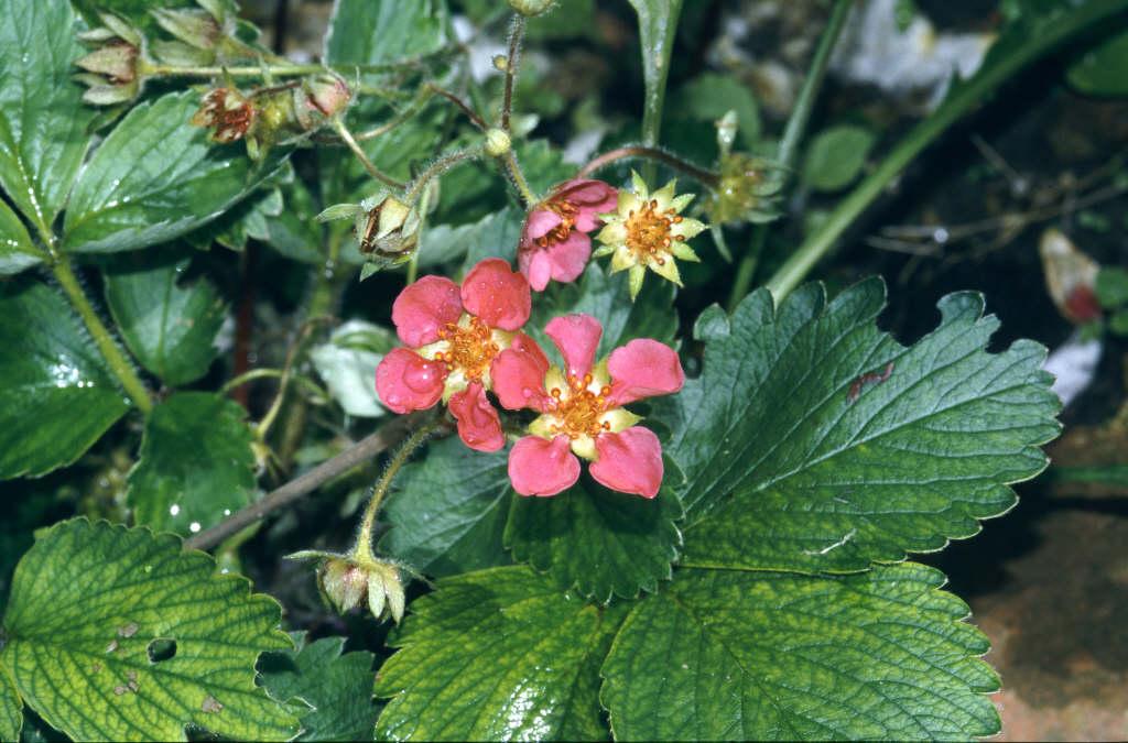 Fragaria x ananassa pink panda frel f strawberry pink strawberry pink panda mightylinksfo