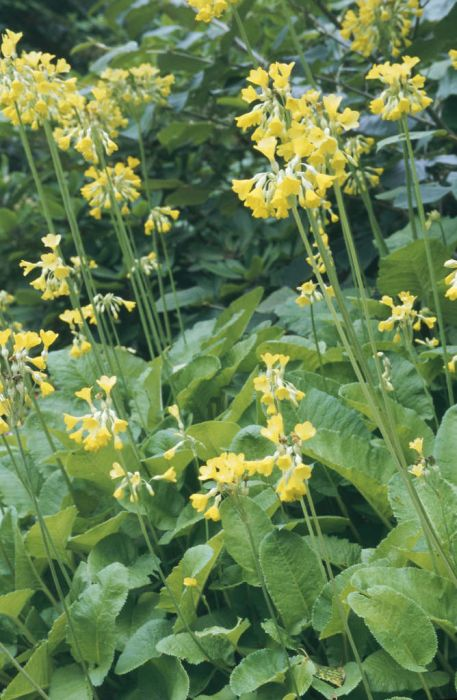 giant cowslip
