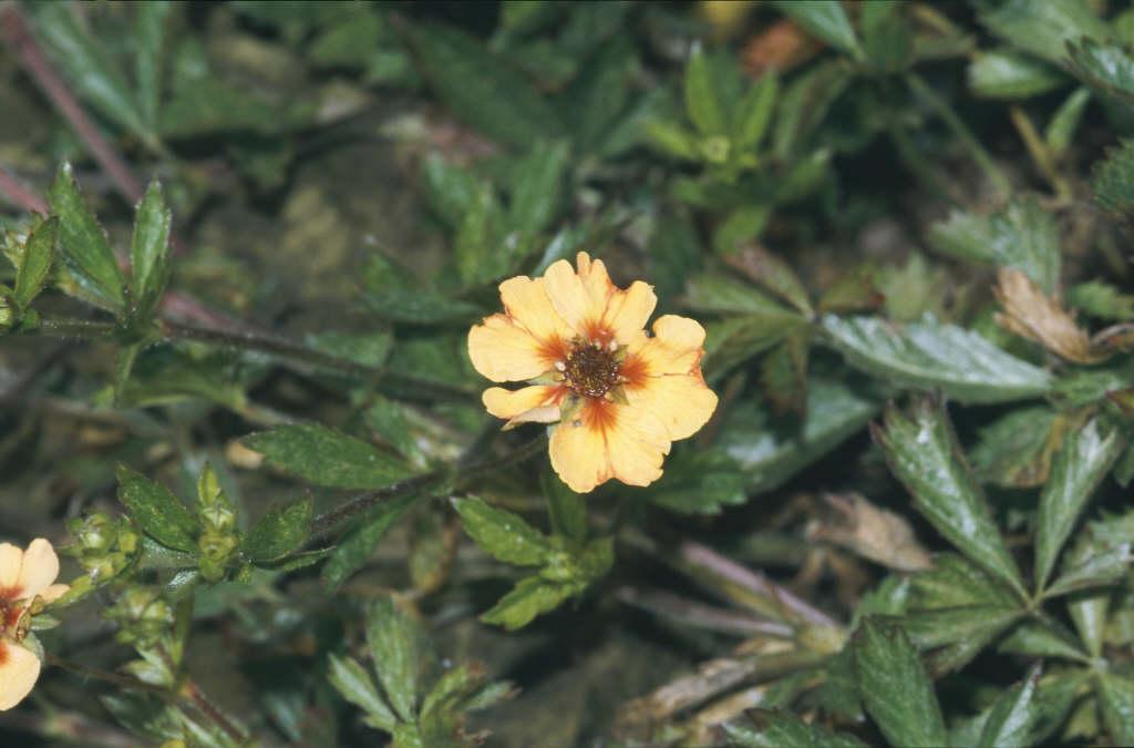 staghorn cinquefoil