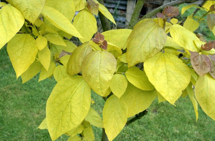 catalpa bignonioides 39 aurea 39 golden indian bean tree rhs gardening. Black Bedroom Furniture Sets. Home Design Ideas