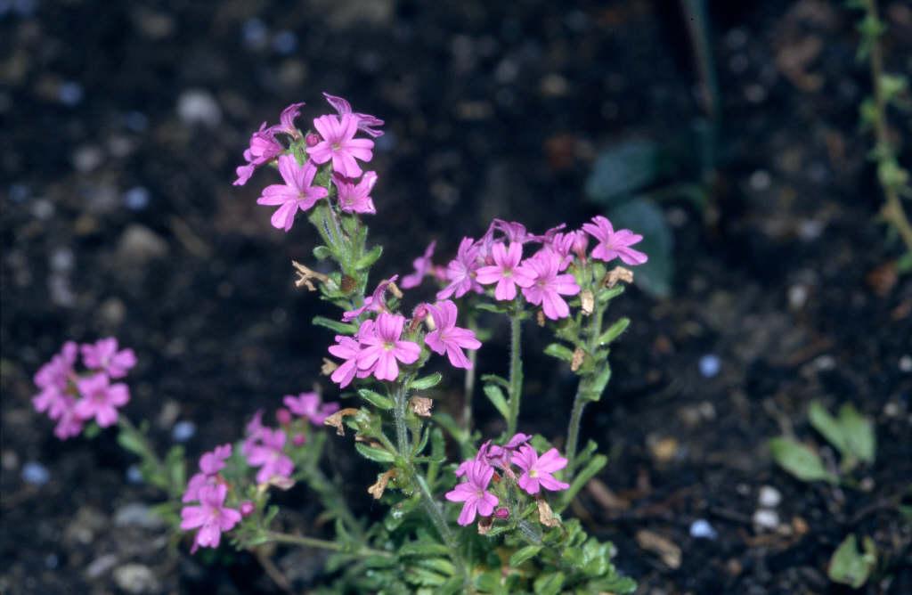 alpine balsam