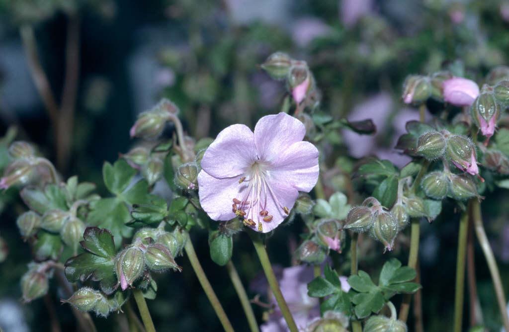 Dalmatian geranium