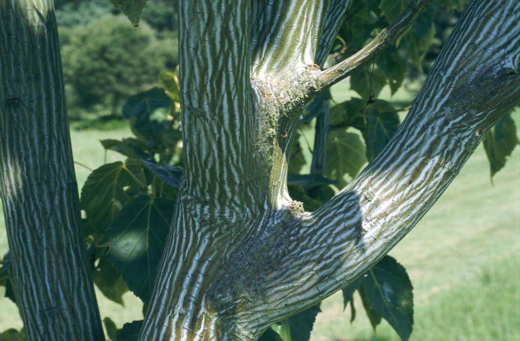 Hers's maple