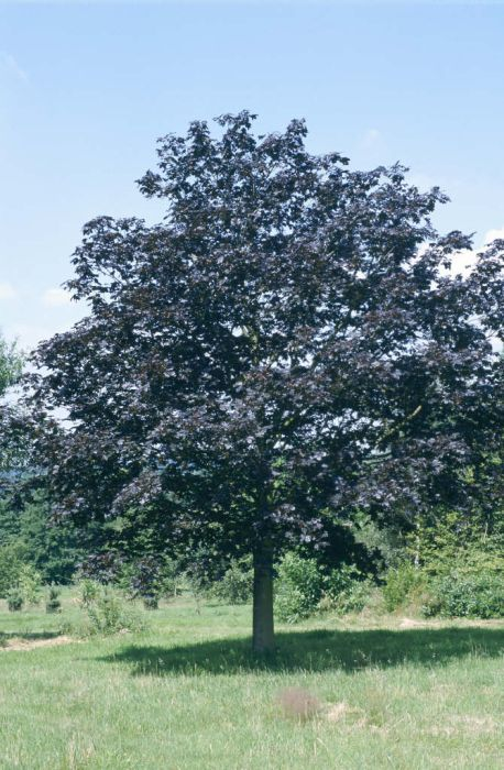 Norway maple 'Crimson King'
