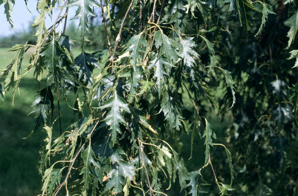 Swedish birch