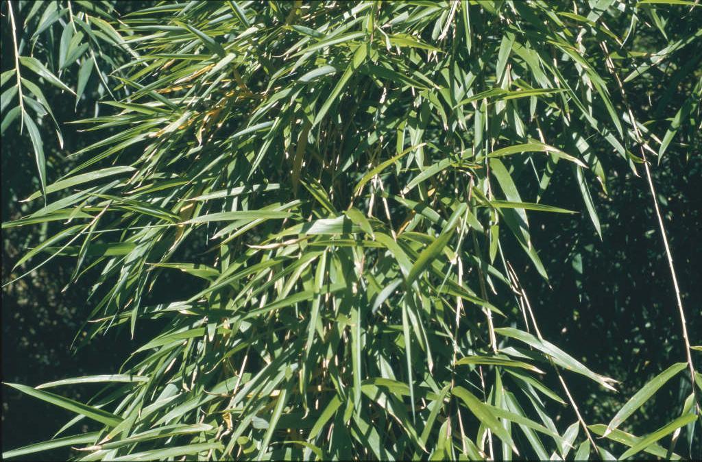 anceps bamboo