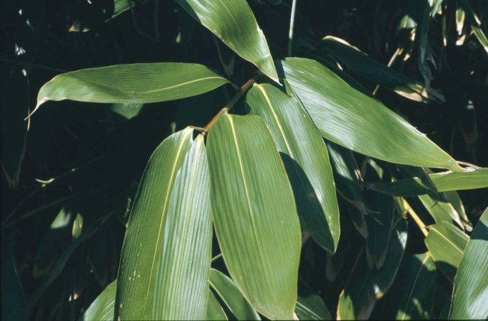 broad-leaved bamboo