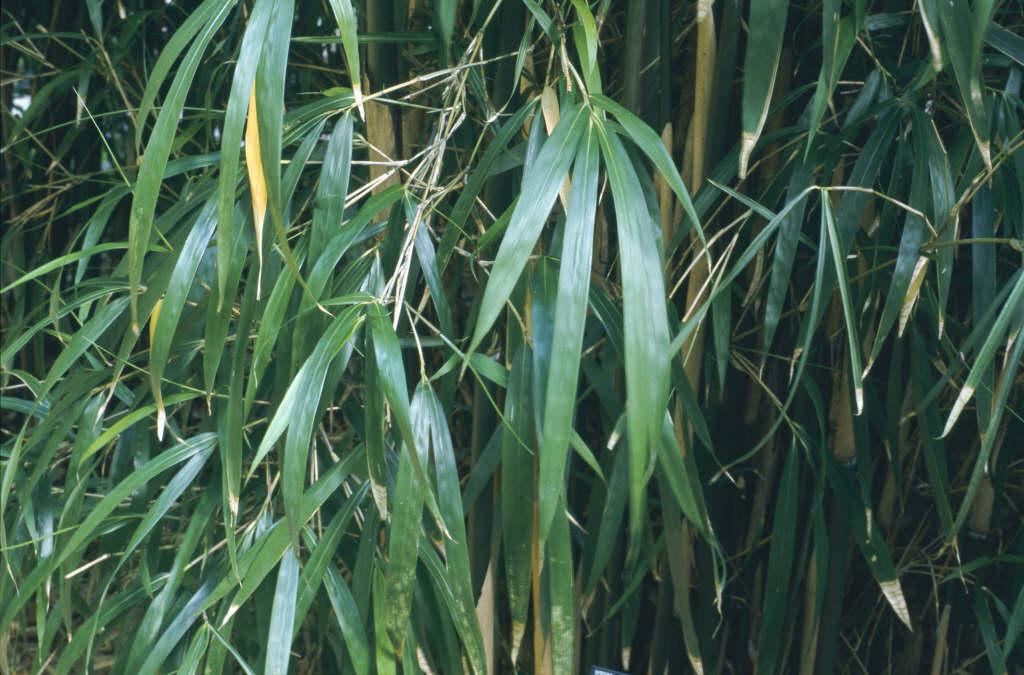 Simon bamboo