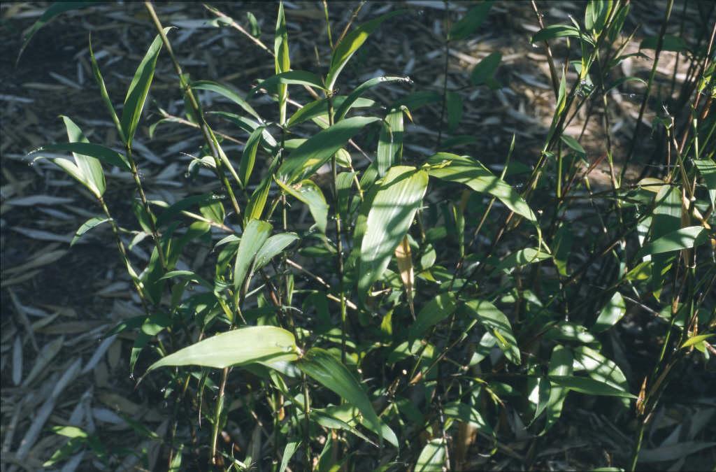 sinuate bamboo