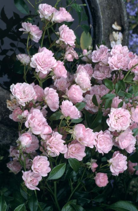 Rosa The Fairy Poly Rose The Fairy Rhs Gardening