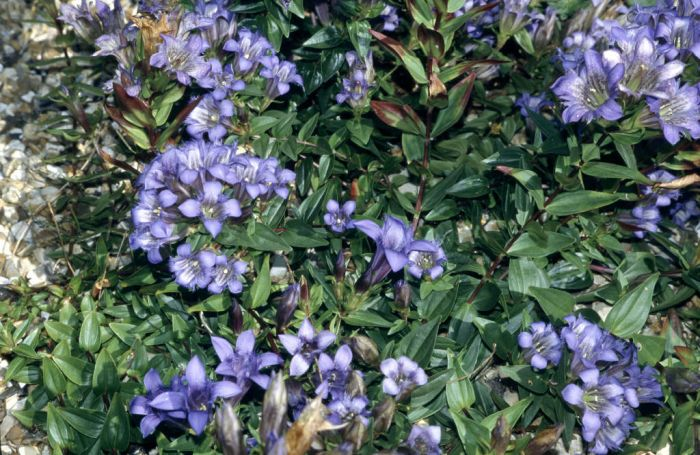 crested gentian