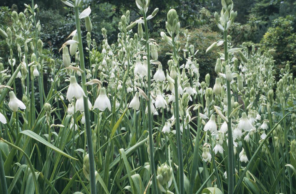 summer hyacinth