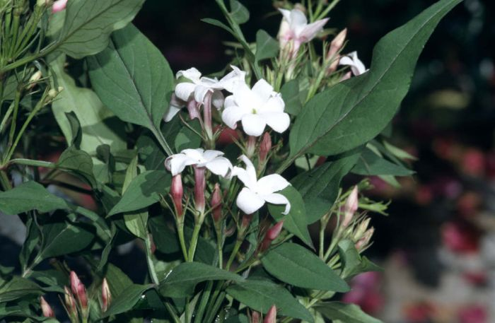 large-flowered jasmine