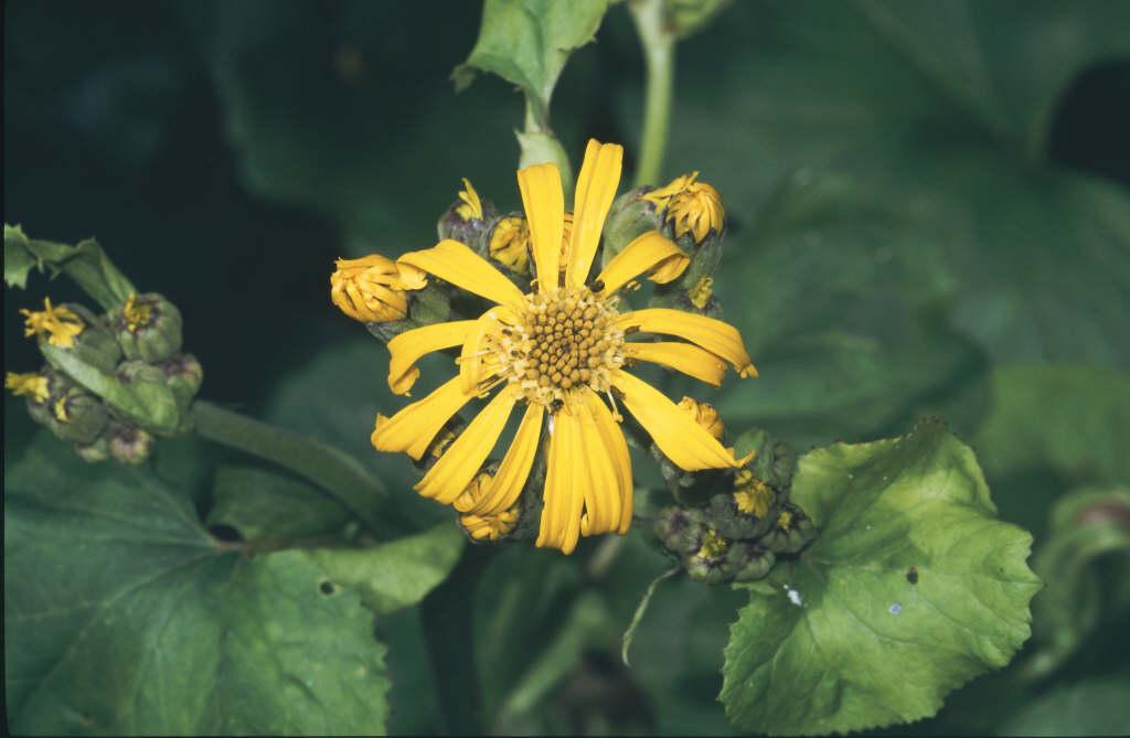 leopard plant 'Gregynog Gold'