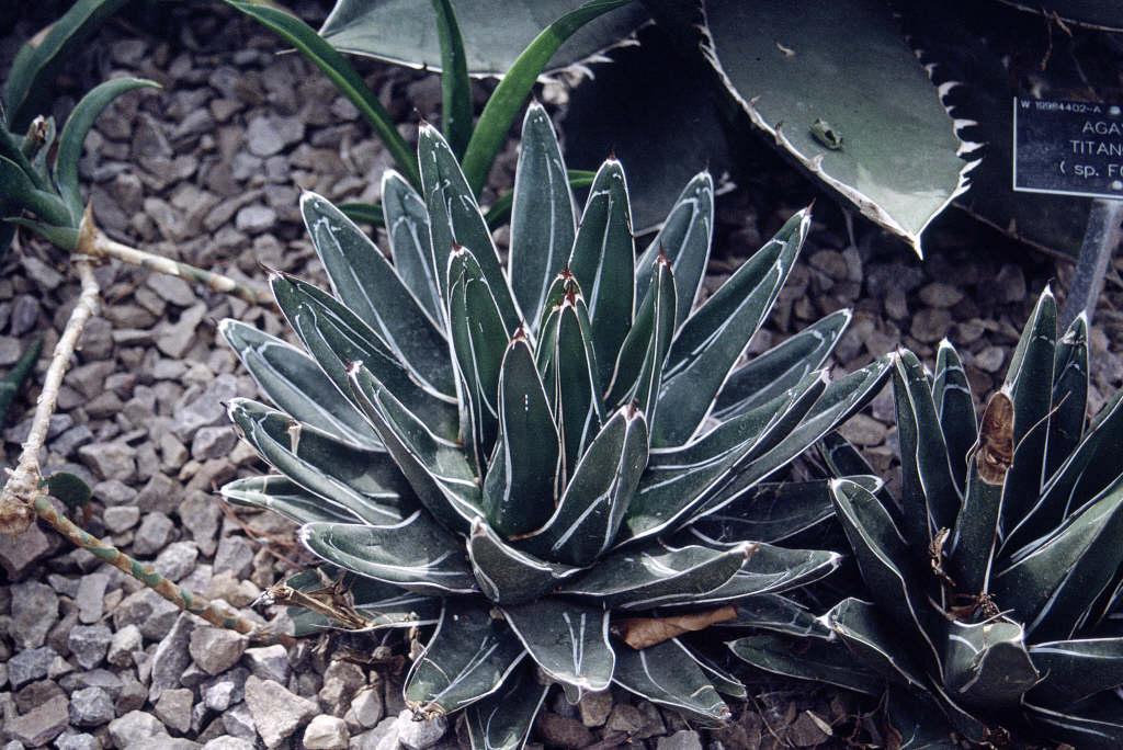 Queen Victoria century plant