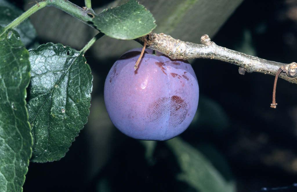 plum 'Czar'