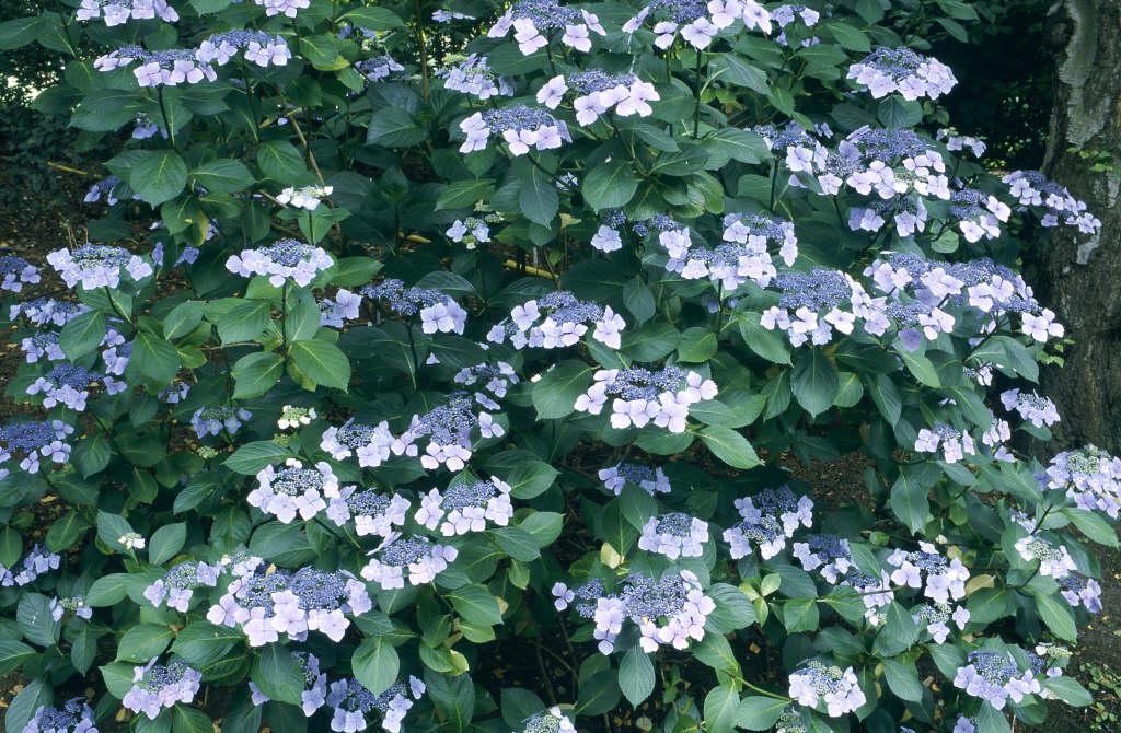 hydrangea 'Mariesii Perfecta'