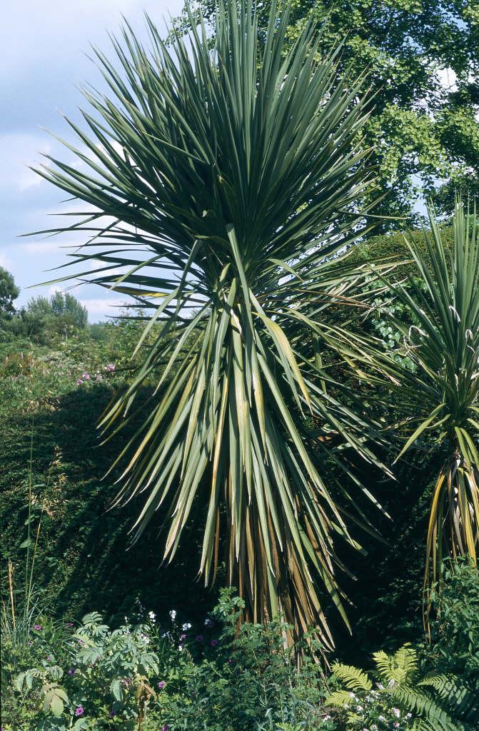 Cordyline Australis Cabbage Palm Rhs Gardening
