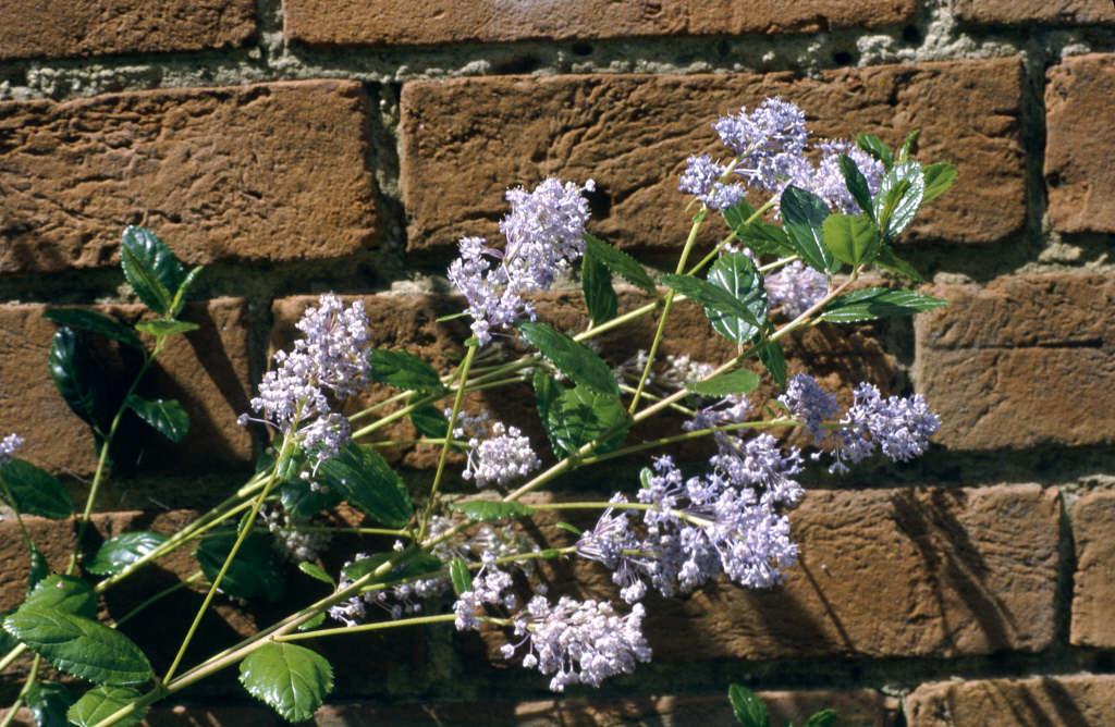 Californian lilac 'Autumnal blue'