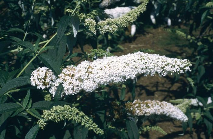 butterfly bush 'White Profusion'