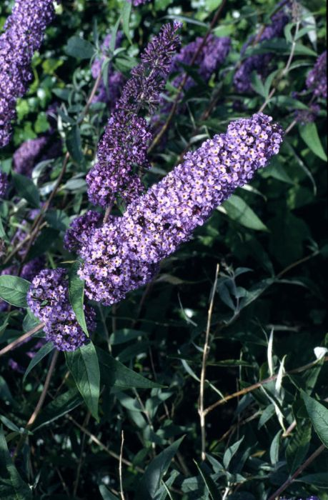butterfly bush [Nanho Blue]