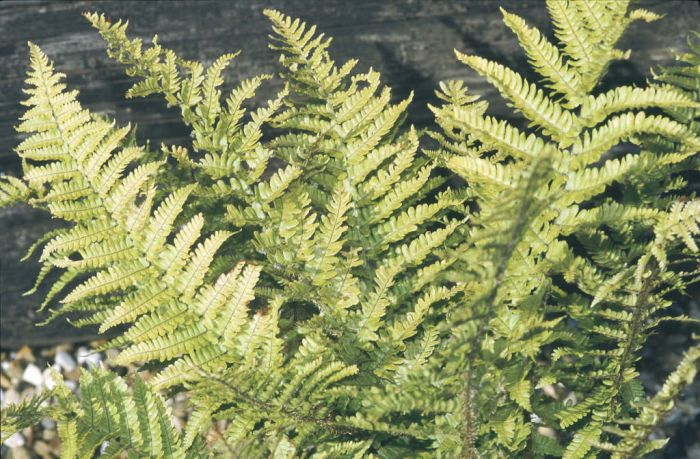 golden shield fern
