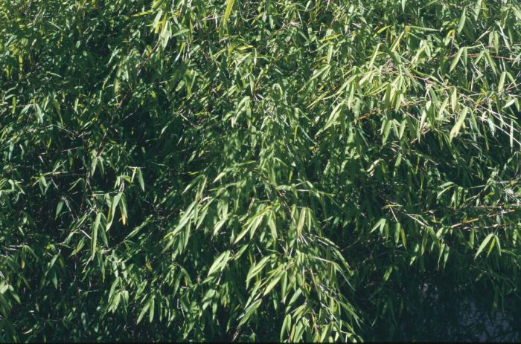 Chinese fountain bamboo