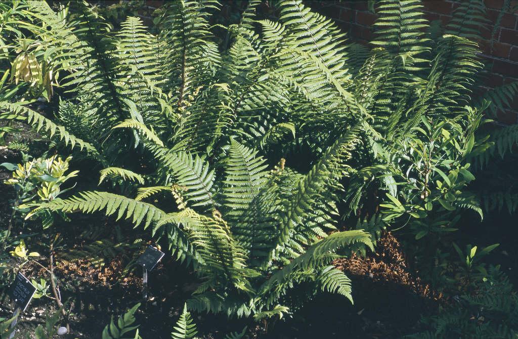 alpine wood fern