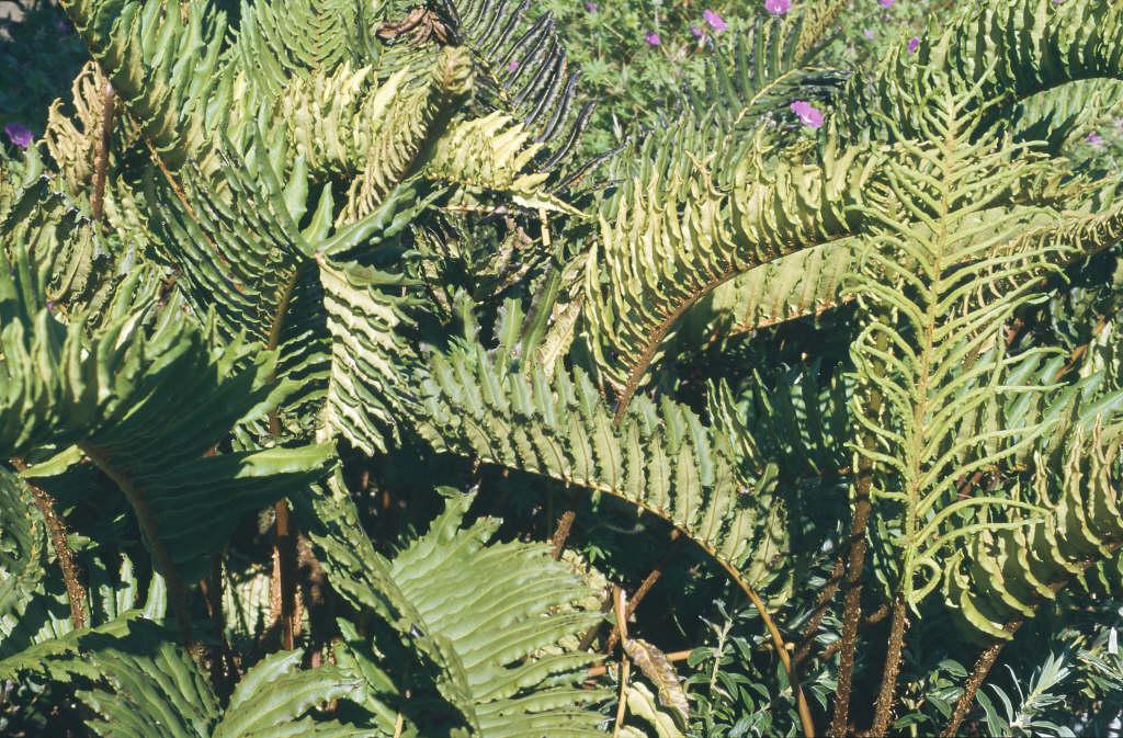 Chilean hard fern