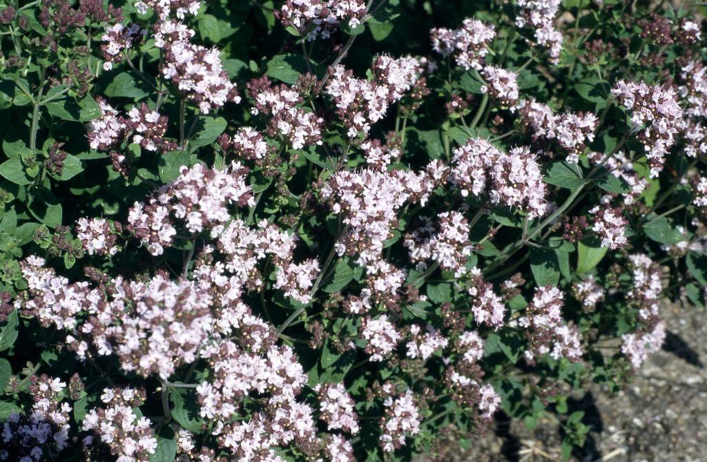 <i>Origanum vulgare</i>