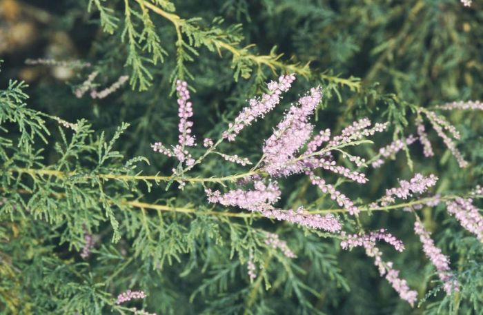 red tamarisk