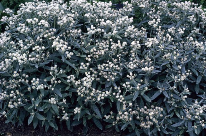 triple-nerved pearly everlasting