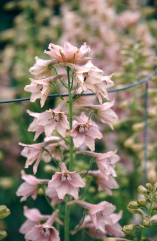 delphinium 'Pink Sensation'