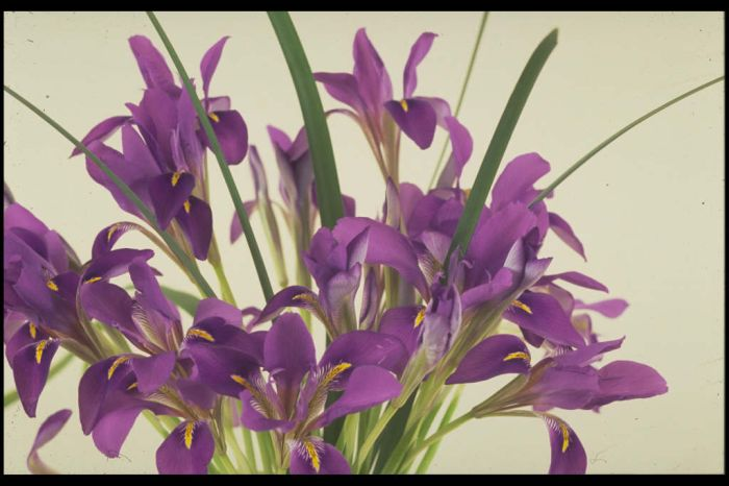 Algerian iris 'Mary Barnard'