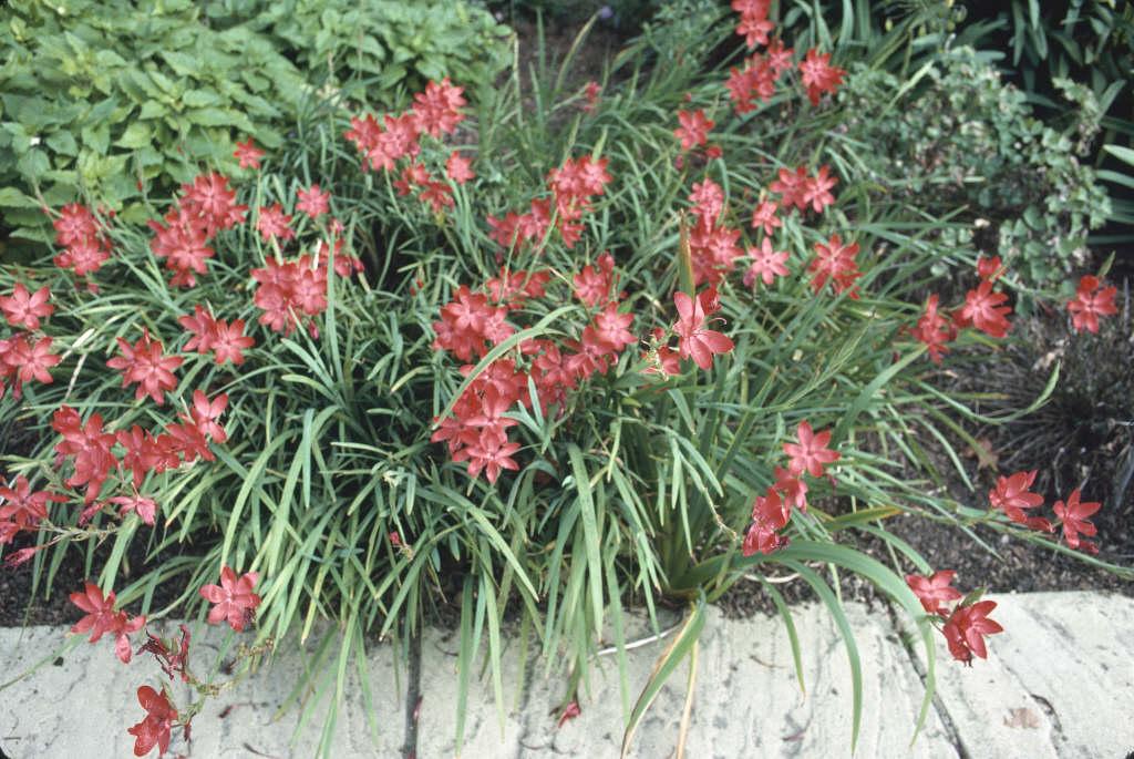 crimson flag lily 'Major'
