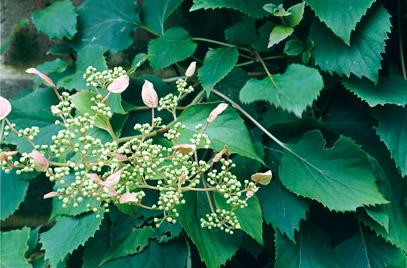pink Japanese hydrangea vine