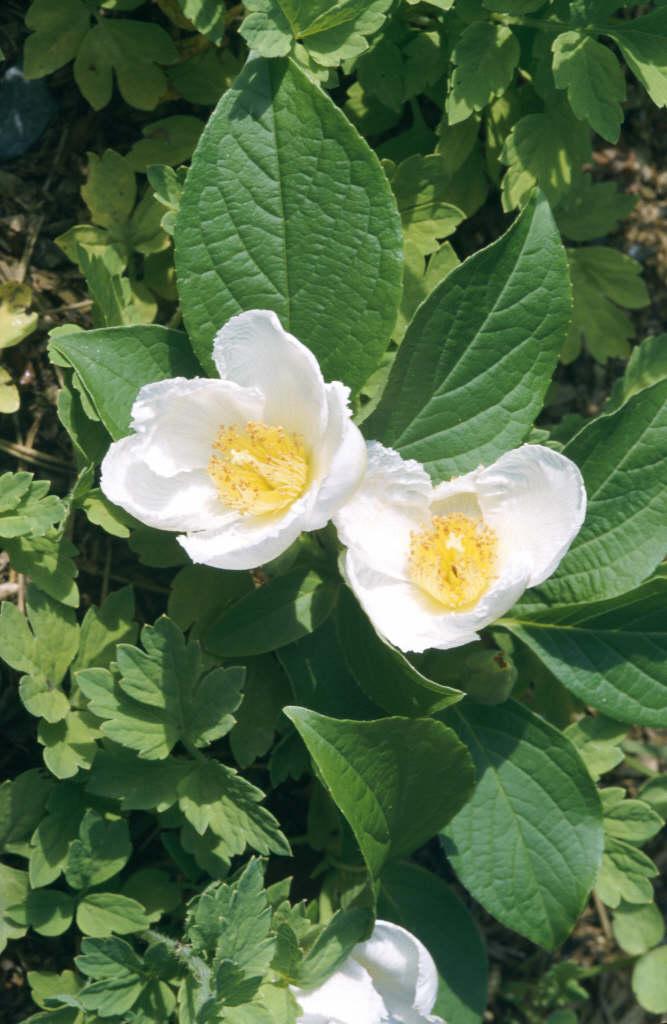 deciduous camellia
