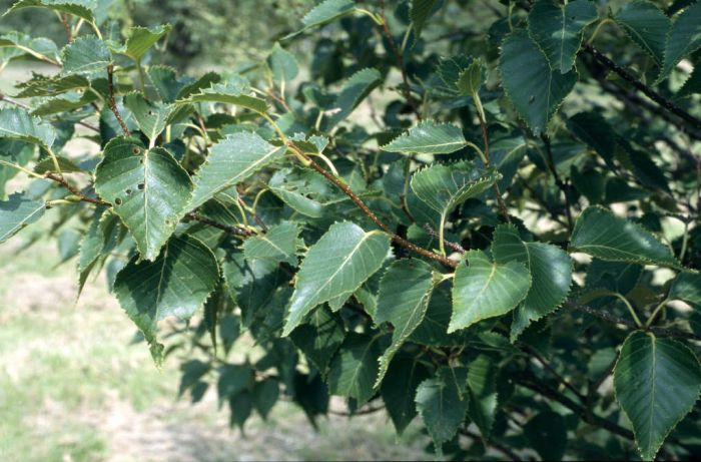 Erman's birch 'Grayswood Hill'