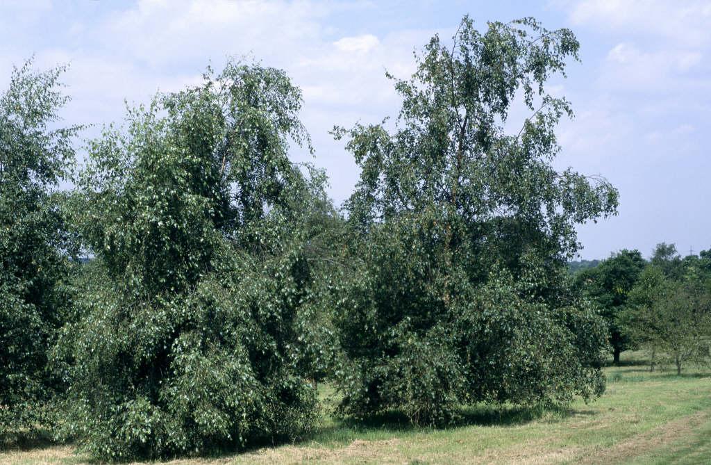 <i>Betula pendula</i>