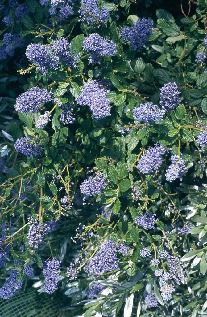Californian lilac 'Burkwoodii'