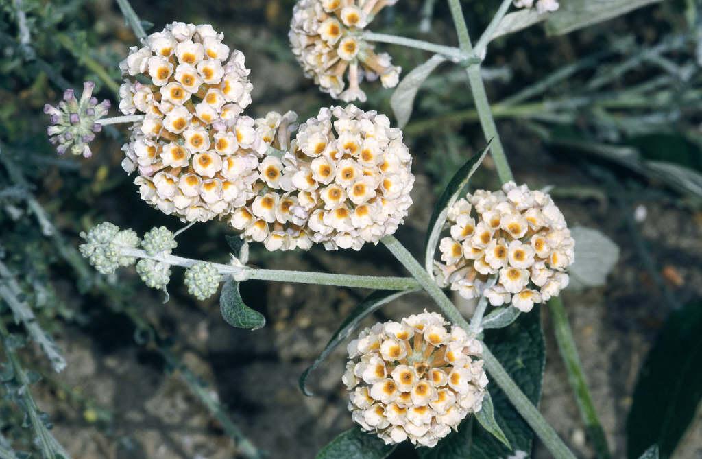 butterfly bush 'Sungold'