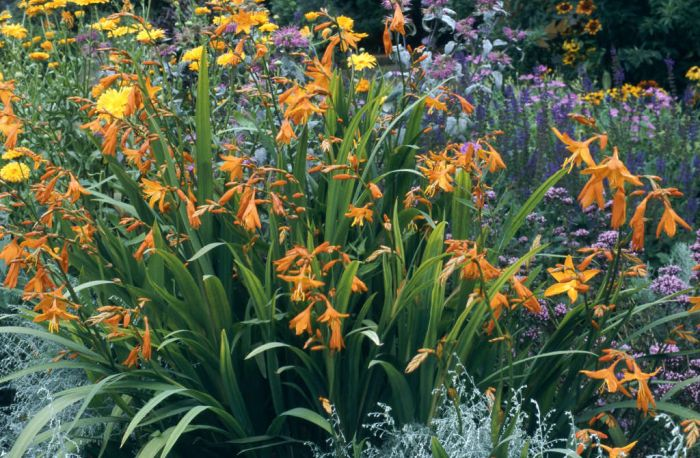 montbretia 'Star of the East'