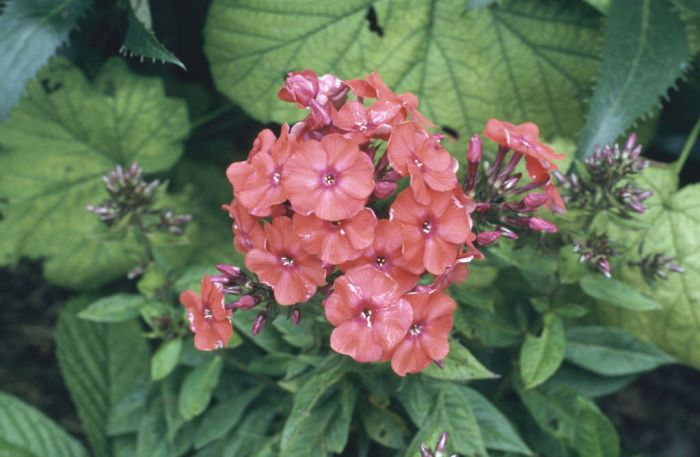 perennial phlox 'Prince of Orange'