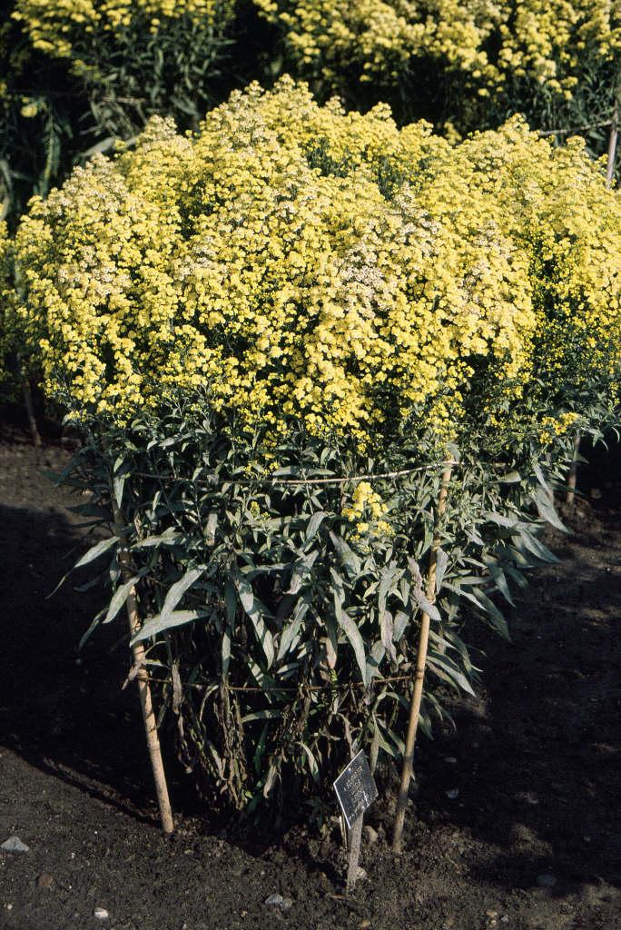 goldenrod 'Lemore'