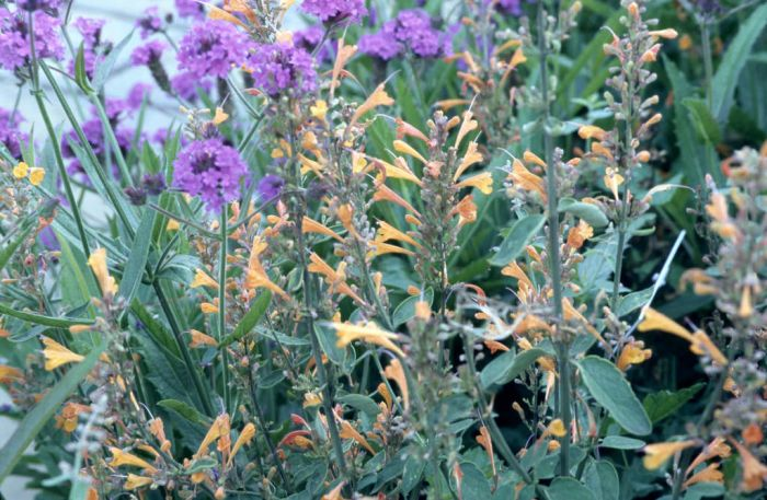 giant hyssop 'Apricot Sprite'