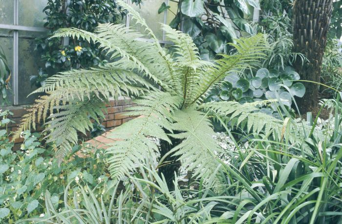 golden tree fern