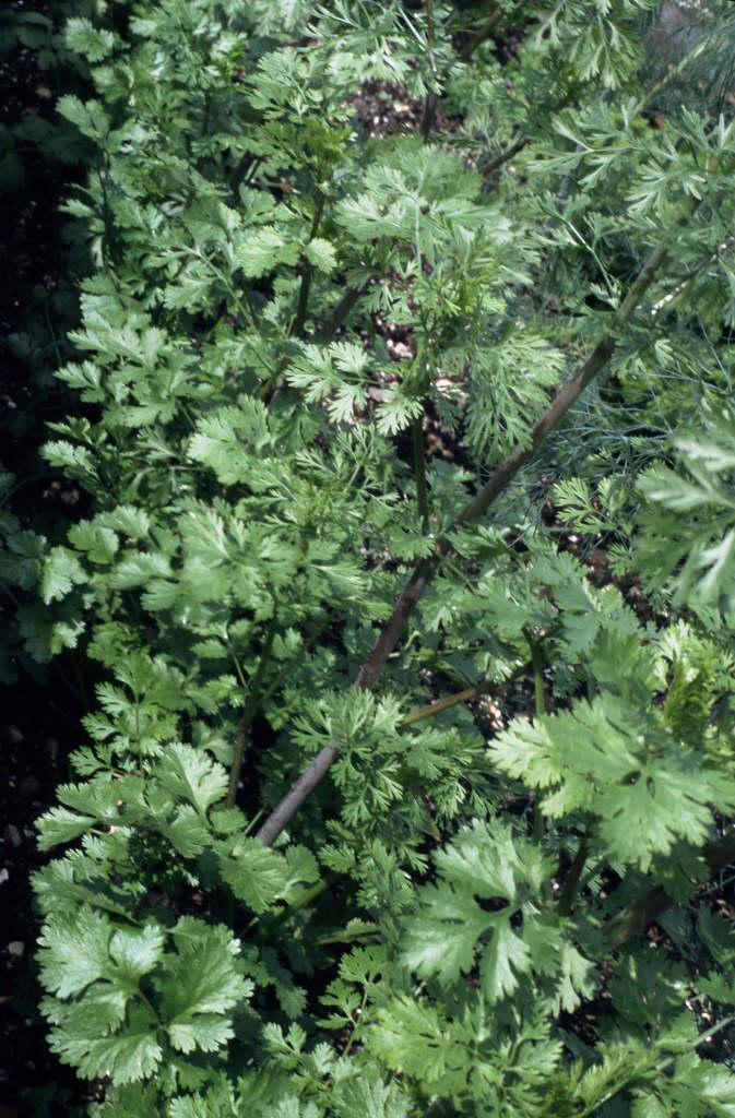 Anthriscus cerefolium chervilRHS Gardening