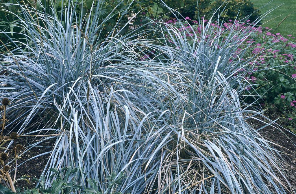 Magellan rye grass
