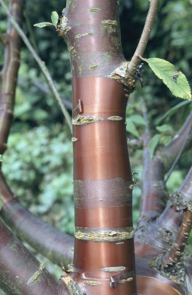 <i>Prunus serrula</i>